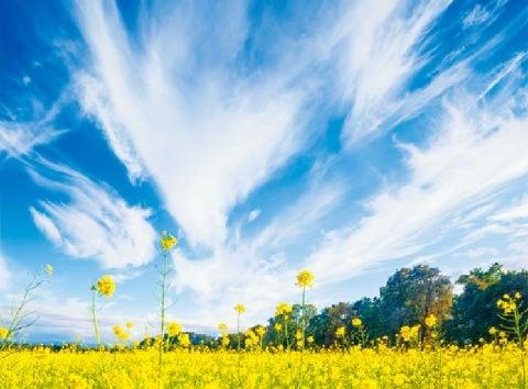 画像:3月 菜の花畑と巻雲 SORA - 空 -  2020年カレンダー
