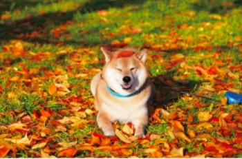 画像: 柴犬まるとおさんぽ 2020年カレンダー