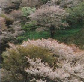 画像:3-4月 吉野桜 (奈良県・吉野町) 四季(前田真三・前田晃)(フィルムカレンダー) 2020年カレンダー