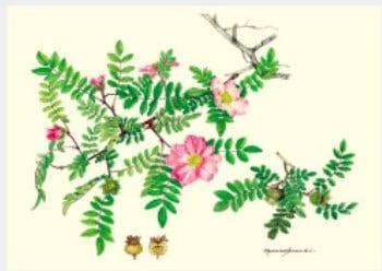 画像:7月 サンショウバラ ボタニカルアート 2020年カレンダー