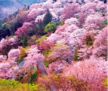画像:3-4月 吉野山の桜(奈良) 花紀行 2020年カレンダー