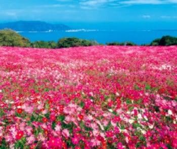 画像:9-10月 のこのしまアイランドパークのコスモス(福岡) 花紀行 2020年カレンダー