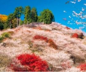 画像:11-12月 川見四季桜の里(愛知) 花紀行 2020年カレンダー