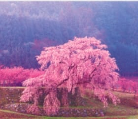 画像:3-4月 又兵衛桜(奈良) 日本の詩情(フィルムカレンダー・小) 2020年カレンダー