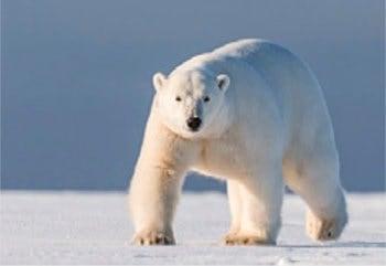画像:12月 ホッキョクグマ 世界動物遺産 2020年カレンダー