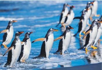 画像:1月 ジェンツーペンギン 世界動物遺産 2020年カレンダー