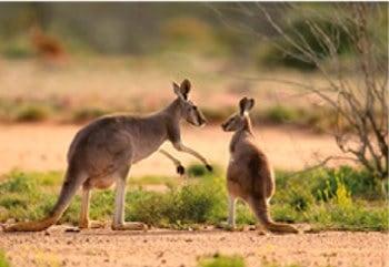 画像:3月 アカカンガルー 世界動物遺産 2020年カレンダー