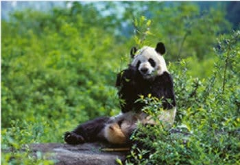 画像:4月 ジャイアンツパンダ 世界動物遺産 2020年カレンダー