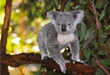 画像:6月 コアラ 世界動物遺産 2020年カレンダー