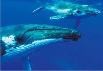 画像:8月 ザトウクジラ 世界動物遺産 2020年カレンダー