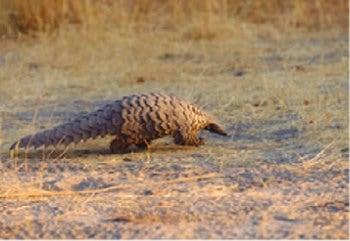 画像:9月 サバンナセンザンコウ 世界動物遺産 2020年カレンダー
